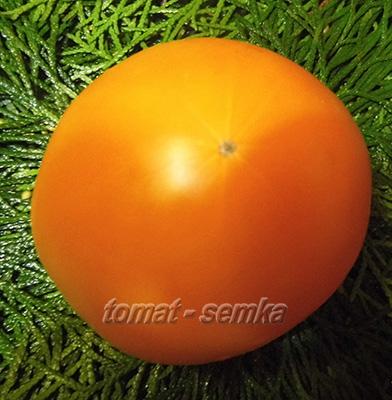 томат апельсин отзывы фото урожайность