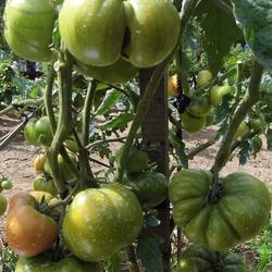 томат черный ананас фото куста