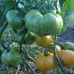 томат сорта Жемчужина Джанет