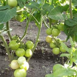 помидоры Челябинский метеорит