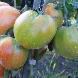 лучшие сорта крупных помидор