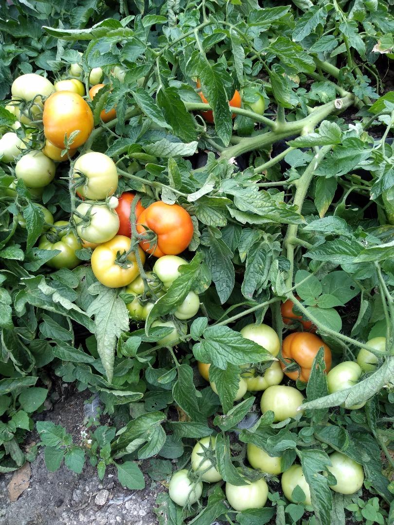 монгол карлик помидор когда сажать на рассаду