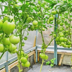 Благовест томат отзывы