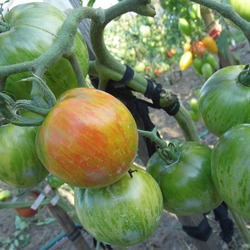 томаты сорта Полосатое сердце