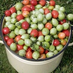 помидоры поцелуй герани отзывы