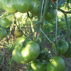 крупноплодные томаты для теплиц