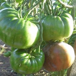 томат фиолетовая страсть